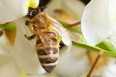 Una abeja en una flor de acacia — Foto de Stock