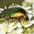 Rose chafer ( Cetonia aurata) — ストック写真