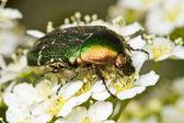 Rose chafer ( Cetonia aurata) — Stock Photo