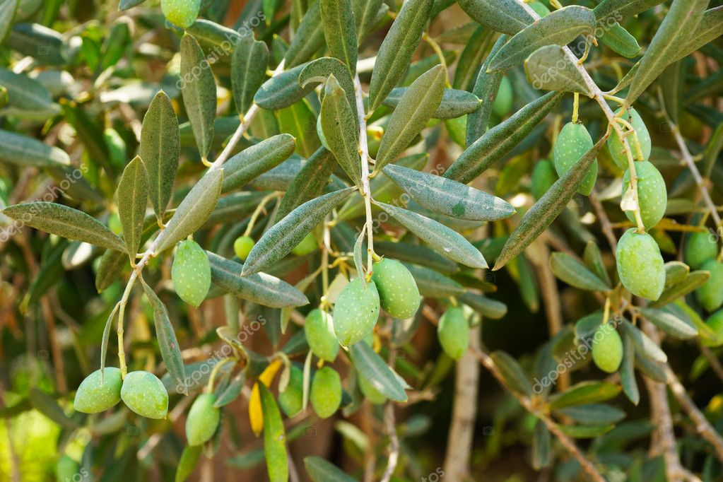 Green olives on a tree — Stock Photo #11991235