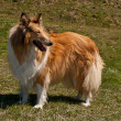 Scottish collie — Stock Photo #10932409