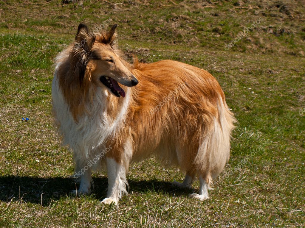 Portrait of sable and white Long-haired (Rough) Collie dog — Stock Photo #10932409