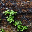 Virginia creeper on a brick wall — Stock Photo