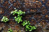 Vildvin på en tegelvägg — Stockfoto