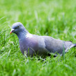 Pigeon — Stock Photo #11576792