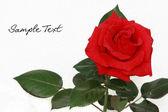 Rosa rouge — Stockfoto