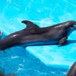 Playful dolphin in the pool — Stock Photo
