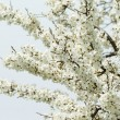 Stock Photo: Branches of cherry blossoms