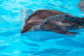 A young dolphin swims in the blue clear water — Stock Photo
