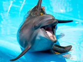 Gay dolphin with mouth open on a blue background — Stock Photo