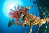 Soft coral on a shipwreck — Photo