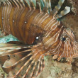 Closeup detail of red sea lionfish — Foto Stock
