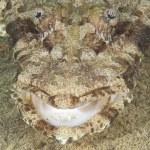 Closeup of crocodilefish head — Stock Photo