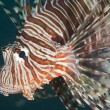Closeup detail of red sea lionfish — Stok fotoğraf