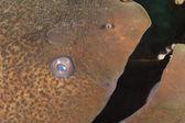 Closeup of giant moray eel — Stock Photo