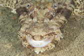 Closeup of crocodilefish head — Stock Photo