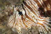 Closeup detail of red sea lionfish — Stock Photo