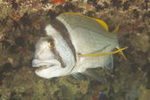 Twobar seabream on coral reef — Stock Photo