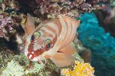 Closeup of blacktip grouper on reef — Stock Photo