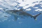 Oceánské žralok bílý tip v moři — Stock fotografie