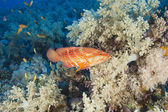Coral grouper on a coral reef — Stock Photo