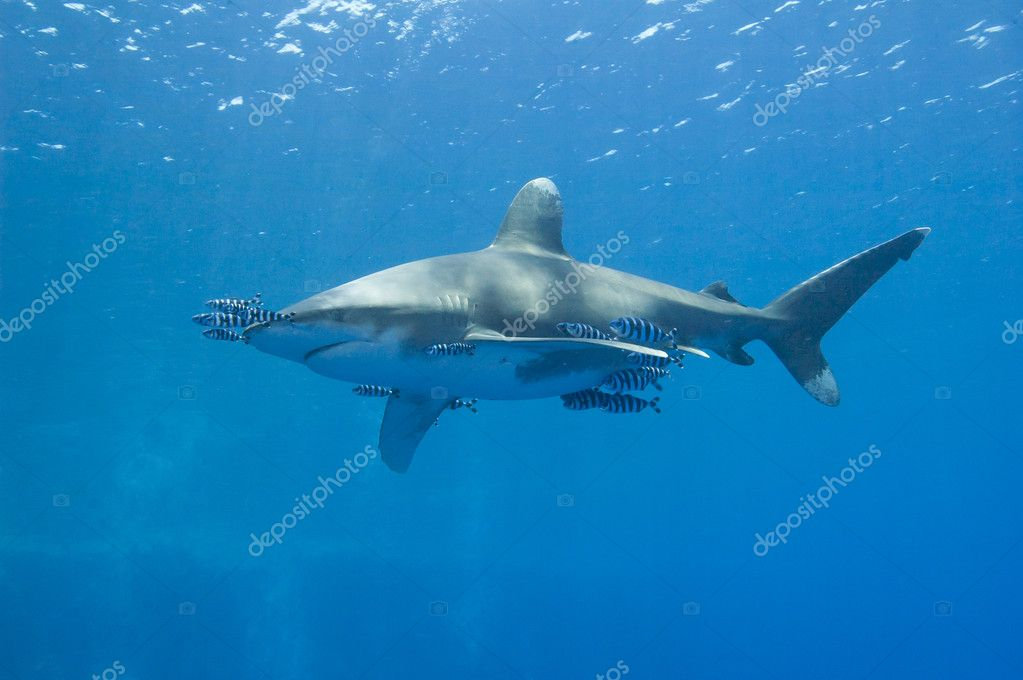 Large oceanic white-tip shark Carcharhinus longimanus under water in the open ocean — Stock Photo #11326691