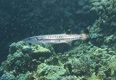 Blackfin barracuda on a reef — Stock Photo