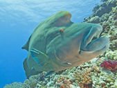 Large napoleon wrasse on a reef — Stock Photo