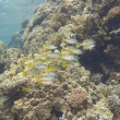 Shoal of snapper on tropical reef — стоковое фото #11642058