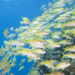 Shoal of goatfish on a tropical reef - Stock Photo