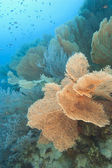 Gorgonian fan corals on a tropical reef — Photo