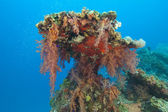 Soft corals on a tropical reef — Photo