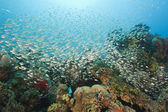 Shoal of glassfish on a coral reef — Stock Photo