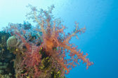 Closeup of soft coral on a reef — Stock Photo