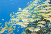 Shoal of goatfish on a tropical reef — Stock Photo