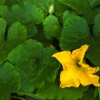 Yellow pumpkin flower — Foto de Stock