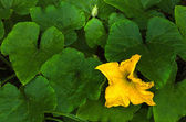 Yellow pumpkin flower — Stock Photo