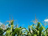 Corn tree green leaf — Stock Photo