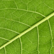 Постер, плакат: Leaf veins close up