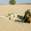 Two camels in the desert sahara — Stock Photo