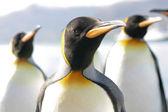 Kral'ın grup portresi penguns — Stok fotoğraf