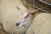 Contented Sheep. — Stock Photo