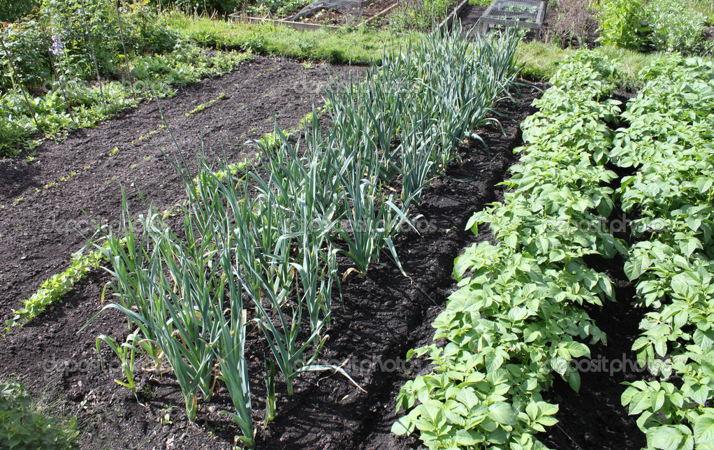 The Layout in Part of a Flourishing Vegetable Garden. — Stock Photo #11144342