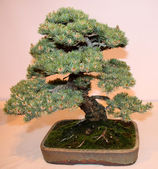 Bonsai Miniature Tree. — Stock Photo