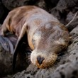 Baby sea lion sleeping in the Galapagos Islands — Stock Photo