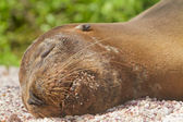 Sea lion resting in the Galapagos Islands — Stock Photo