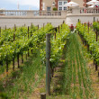 Vineyard near the winery — Stock Photo