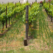 Vineyard, three rows — Stock Photo