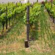 Vineyard, three rows — Stock Photo #11245135