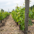 Stock Photo: Vineyard, close view of a log